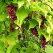 'Golden Latterns' is a shrub with brightly colored golden heart shaped leaves and pendulous white and burgundy flowers. Leycesteria formosa 'Golden Latterns' added by Shoot)