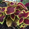 Solenostemon scutellarioides (Common coleus)