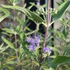 Caryopteris x clandonensis 'Heavenly Blue' (Bluebeard 'Heavenly Blue')