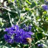 Bluebeard 'Heavenly Blue' (Caryopteris x clandonensis 'Heavenly Blue')