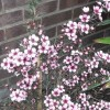Tea tree 'Martini' (Leptospermum scoparium 'Martini')