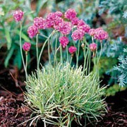 Armeria maritima added by Shoot)