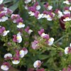 Nemesia 'Berries and Cream' (Nemesia 'Berries & Cream')