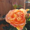 Rose 'Lady of Shalott' (Rosa 'Lady of Shalott')