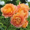 Rosa 'Lady of Shalott' (Rose 'Lady of Shalott')