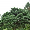 Pinus sylvestris 'Watereri' (Scots pine 'Watereri')