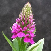 Dactylorhiza foliosa added by Shoot)