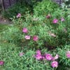 Cistus x purpureus (Purple-flowered rock rose)