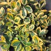 Euonymus japonicus 'Gold Queen' (Japanese spindle 'Gold Queen')