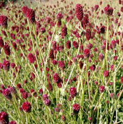 Sanguisorba officinalis 39 red thunder 39 great burnet 39 red for Sanguisorba officinalis red thunder