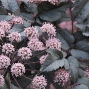 'Ebony' is an upright perennial with glossy, dark purple, flushed-black, pinnate leaves and dark purple buds opening to rounded umbels of pink flowers in late summer and early autumn. Angelica 'Ebony' added by Shoot)