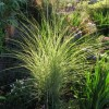 Miscanthus sinensis 'Morning Light' (Eulalia 'Morning Light')