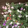 Lathyrus odoratus Spencer Series, mixed