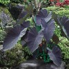 Colocasia esculenta 'Black Magic' (Taro 'Black Magic')
