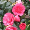 Camellia reticulata 'Mary Williams' (Camellia 'Mary Williams')