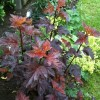 Physocarpus opulifolius 'Lady in Red' (Ninebark 'Lady in Red')