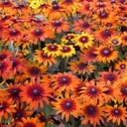 'Autumn Colours' is an upright, branching, bristly biennial or short-lived perennial, often grown as an annual with ovate, veined, dark green leaves and, in summer and early autumn, daisy-like flowerheads in shades of orange, red and yellow surrounding a prominent, brown disk. Rudbeckia hirta 'Autumn Colours' added by Shoot)