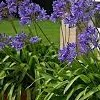 Agapanthus 'Luly' (African lily 'Luly')