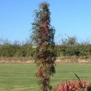 'Autumn Spire' is a small, deciduous tree, upright when young, columnar in maturity, with pinnate, bright green leaves turning purple, red and yellow in autumn, and clusters of white flowers in summer followed by orange-yellow berries in late summer or early autumn. Sorbus 'Autumn Spire'  added by Shoot)