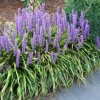 Liriope muscari 'Big Blue' (Big blue lilyturf 'Big Blue')