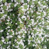Thymus serpyllum var. albus (White-flowered creeping thyme)
