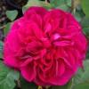 Rosa 'Darcey Bussell' (Rose 'Darcey Bussell')