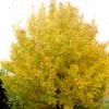 Acer campestre (Field maple)