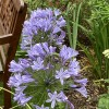 Agapanthus africanus (African blue lily)