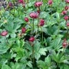 Astrantia 'Hapsden Blood' (Masterwort 'Hapsden Blood')