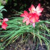 Hesperantha coccinea 'Major' (Kaffir lily 'Major' )