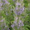 Scutellaria incana (Downy skullcap)
