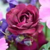 Rosa 'Burgundy Ice' (Rose 'Burgundy Ice')