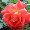 Rosa 'Super Trouper' (Rosa 'Super Trouper')