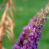Buddleja davidii 'Peacock' (Butterfly bush 'Peacock')