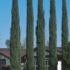 Cupressus sempervirens 'Totem Pole' (Italian cypress 'Totem Pole')