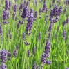 Lavandula angustifolia 'Munstead' (English lavender) - LM