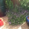 Lavandula angustifolia 'Munstead' (English lavender 'Munstead')