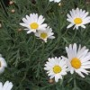 Argyranthemum frutescens 'Sugar Button'