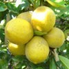 Citrus x limon 'Meyer'