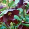 Helleborus orientalis 'Queen of the Night'