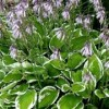 Hosta 'Francee' (fortunei)