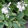 Hosta 'Frances Williams' (sieboldiana)