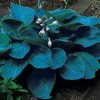 Hosta sieboldiana 'Bressingham Blue'