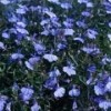 Lobelia erinus 'Cambridge Blue'