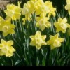Narcissus 'Charter'