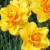 Narcissus 'Double Event'