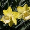 Narcissus 'Gin and Lime'