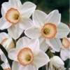 Narcissus 'High Society'