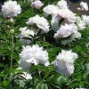 Paeonia 'Shirley Temple'