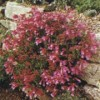 Penstemon newberryi